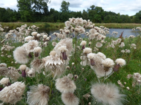 Fluffy seed Heads.