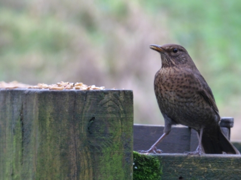birds jan 020