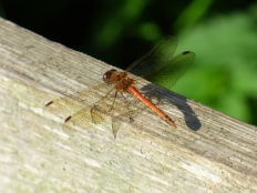 Common Darter October.