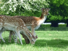 Red Deer at Studley Royal in May.