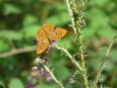 Fritillary Butterfly. Rezare, Cornwall in August.