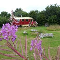 Rosebay Willowherb at Spring Park, Cornwall.