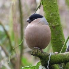 Female Bullfinch in Clitheroe.