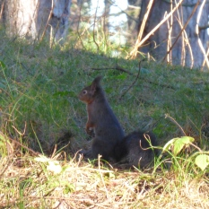 Red Squirrel at Formby Point in January.