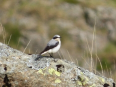 Wheatear near Haweswater in May.