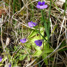 Common Butterwort with star shaped leaves out on the hills near Haweswater.