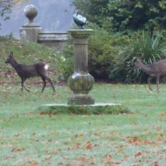 Roe Deer at Castle Kennedy.