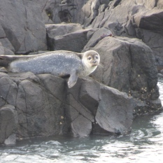 Grey Seal on the rocks at Corsewall Lighthouse.
