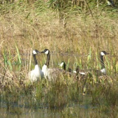Canada Geese at Castle kennedy November.