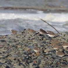 Little Plovers on Ballantrae Beach, November.