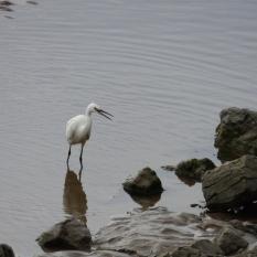 Little Egret on the Silverdale coast.