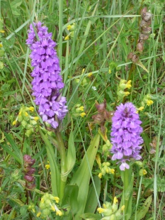 Maybe Early Purple Orchids.