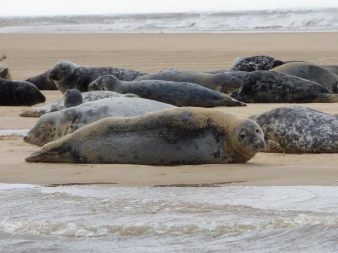 Seals at Blakeney Point.