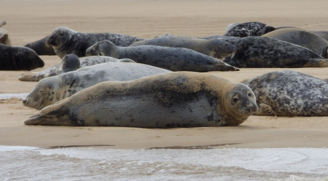 Seals at Blakeney Point.