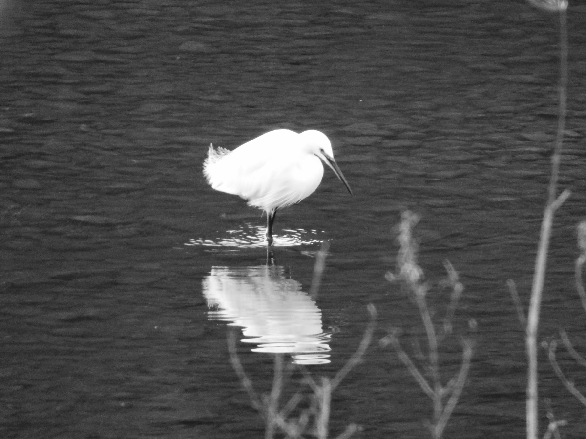 A bird and a poem ~ Little Egret.
