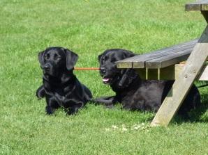 Resident Labradors. :)