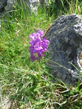 Early Purple Orchid.