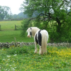 Horse in Buttercup meadow.