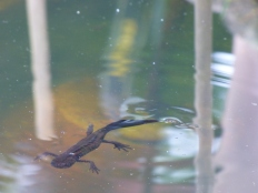 Great Crested Newts.