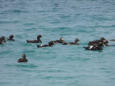 Eider ducks, Berneray.