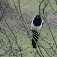 A Bird And A Poem ~ Magpie.