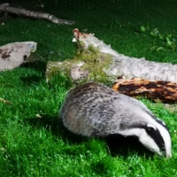 Badgers at RSPB Haweswater. 🦡