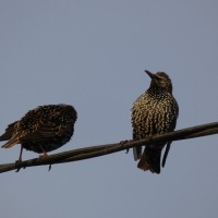 A Bird And A Poem ~ Starlings.